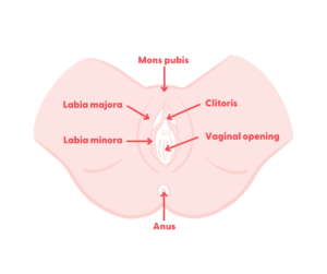 Frontal view of between a female's legs, showing vulva and vagina, and labelled with mons pubis, clitoris, labia majora, labia minora, vaginal opening and anus